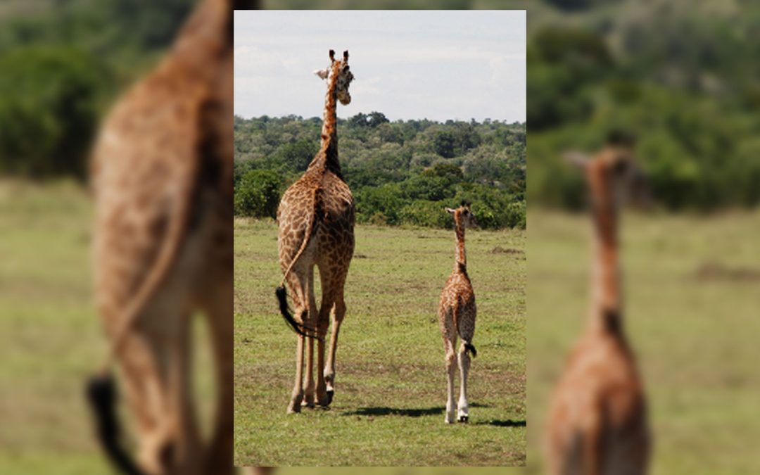 Wild About Kenya: Safari story for Private Clubs magazine