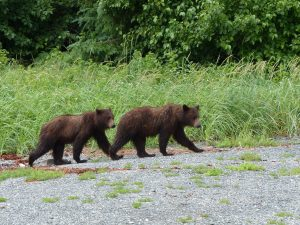Two young bears at Pack Creek on Admiralty Island. Photo by Jacqueline Yau.