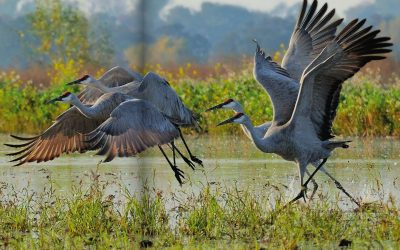 Winged Wonders: Great migrations of sandhill cranes, Horizons, March 2014