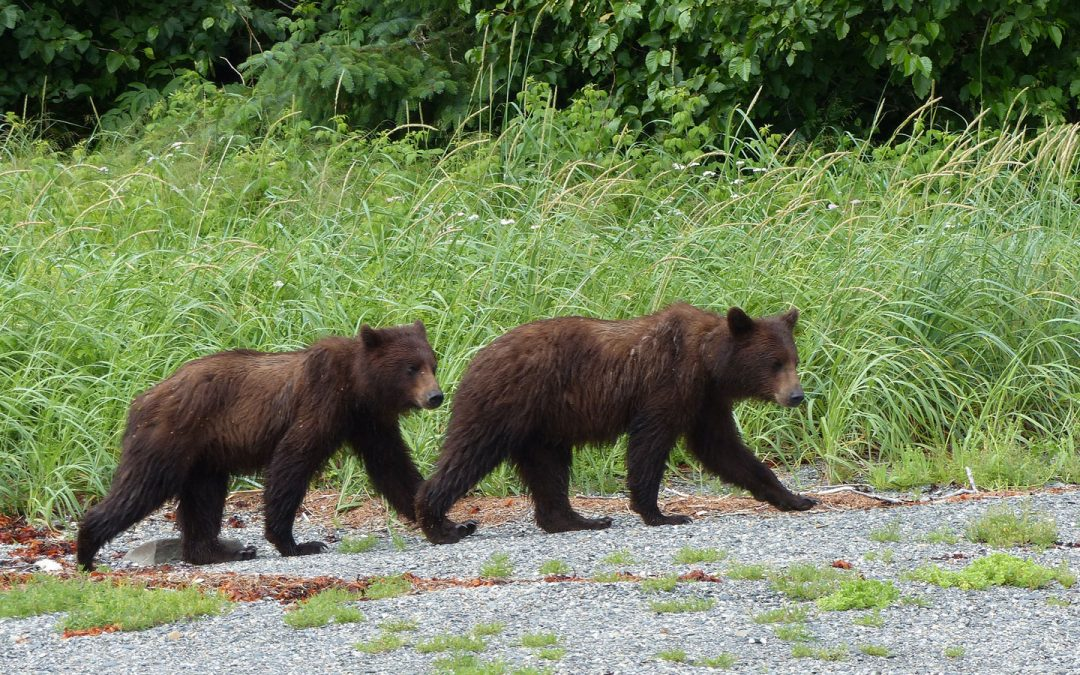 Kayaking to see bears at Alaska's Pack Creek, Alaska magazine, Aug. 2015